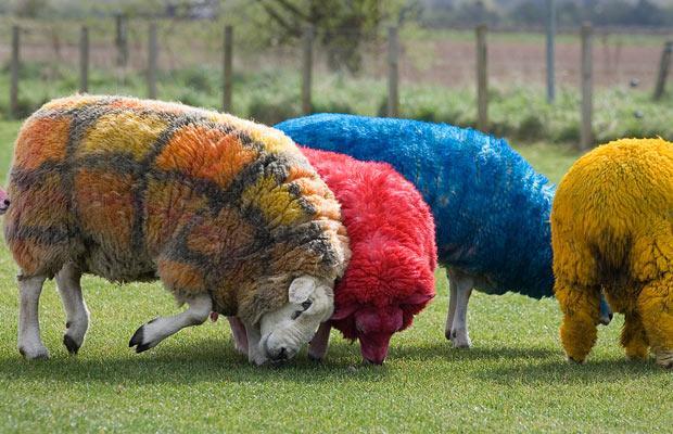 election-sheep_1624903i