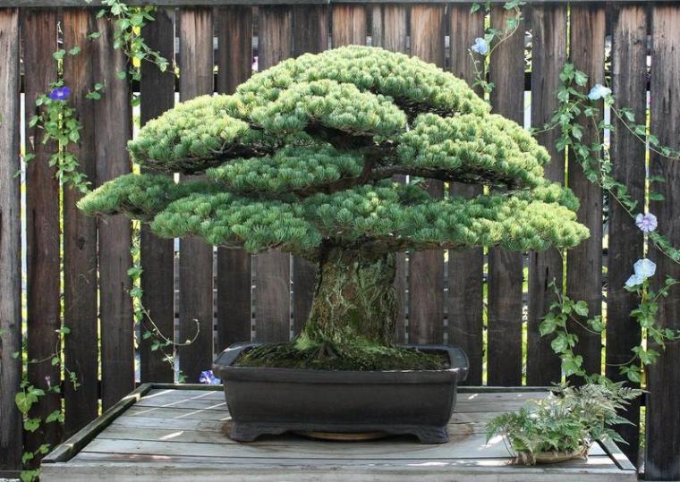 bonsai-tree-400-years-old